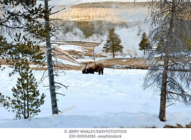 Bison, Upper Geyser Basin, Winter in Yellowstone NP, WY