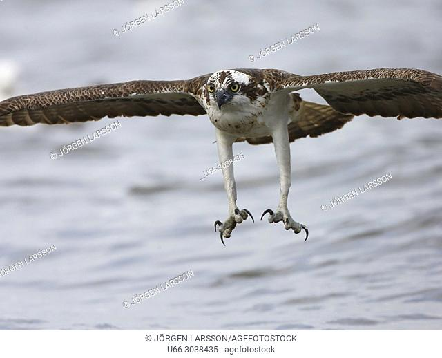 Osprey fishing. Lake Malaren, Sodermanland, Sweden