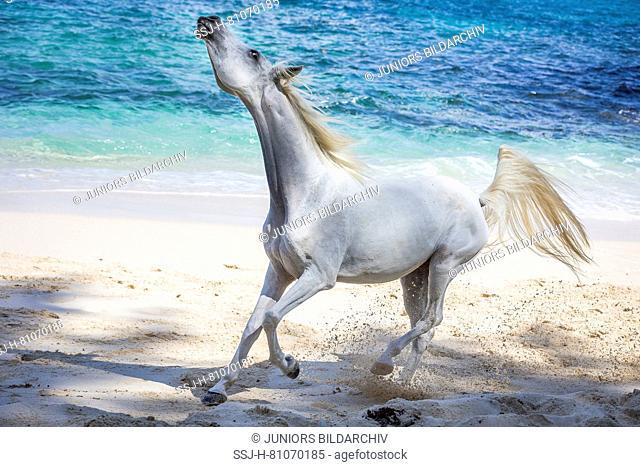 Arabian horse. Gray mare on a tropical beach, fidgeting with head. Seychelles