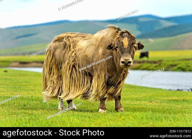 Yak (Bos mutus) mit hellbraunem langhaarigem Fell, Orchon-Tal, Khangai Nuruu Nationalpark, Oevoerkhangai Aimag, Mongolei /Yak (Bos mutus) with long light brown...