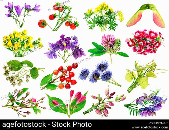 June summer European wild plants  and flowers set. Isolated on white studio macro shots. Full size images find in my portfolio