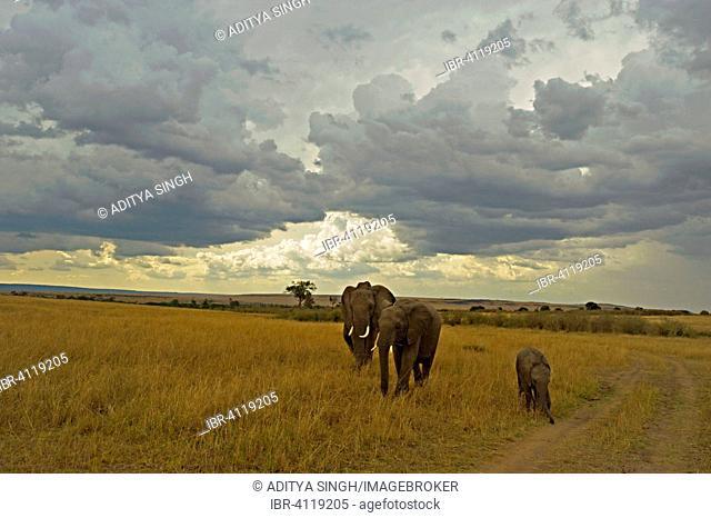 Family of African Elephants (Loxodonta africana) in the plains, Masai Mara National Reserve, Kenya