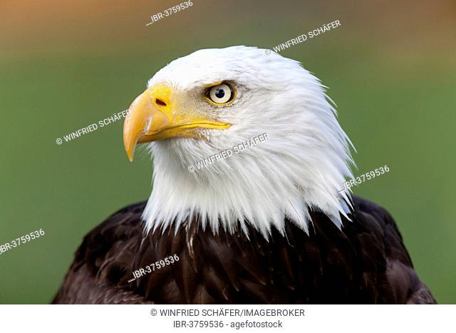 Bald Eagle (Haliaeetus leucocephalus), portrait, captive, Saarland, Germany