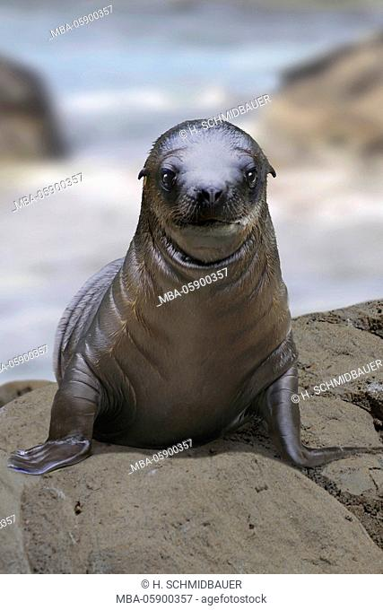 Sea lion, baby, Zalophus californianus, sits on stone