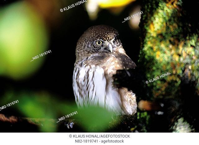 Eurasian Pymgy owl Glaucidium passerinum on branch in autumn - Bavaria/Germany