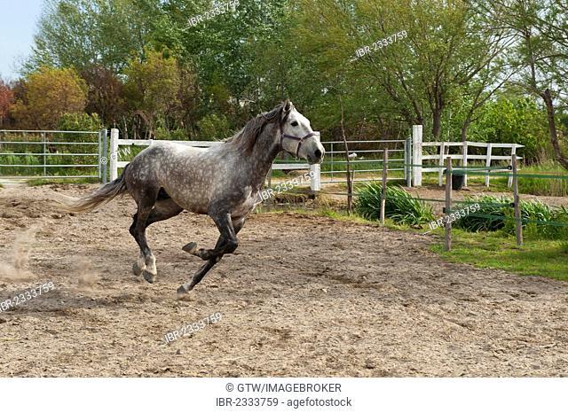Camargue horse running in a corral, Bouches du Rhône, France, Europe