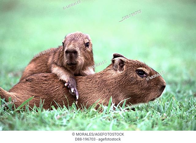 Capybaras (Hydrochoerus hydrochaeris)