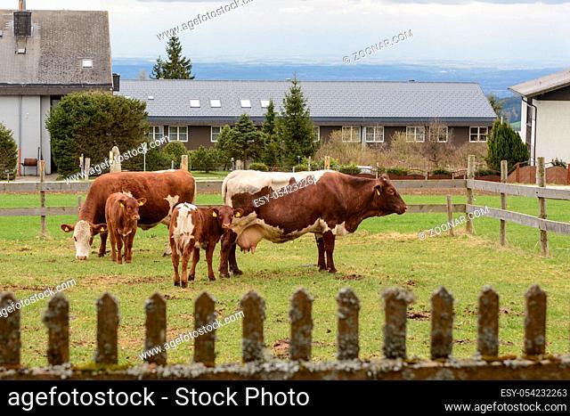 Bio-Rinder auf eingezäuntem Weideland - mehrere Milchkühe und Kälber