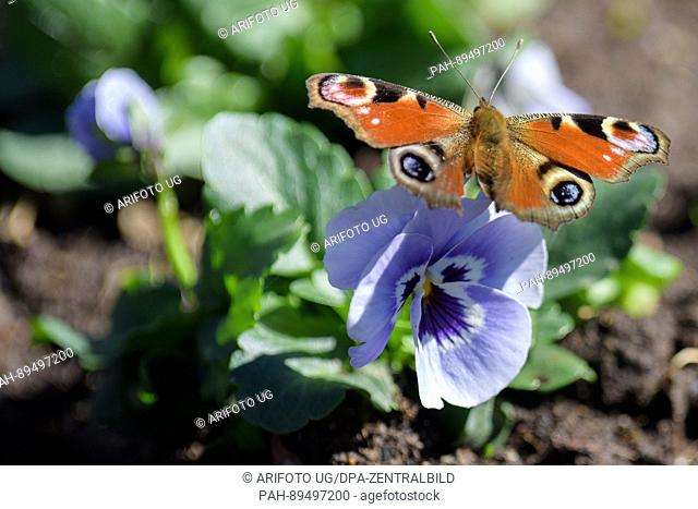 A peacock butterfly sits on a pansy inWeimar, Germany, 28 March 2017. Photo: Candy Welz / Arifoto Ug/dpa-Zentralbild/dpa | usage worldwide