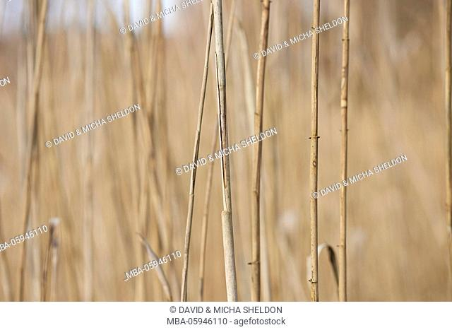 Reed, Phragmites australis, close-up