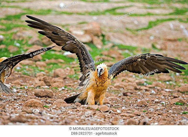 Europe, Spain, Catalonia, Lerida province, Boumort, Bearded vulture at the feeding station in the game reserve, adult in flight