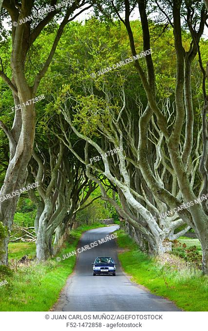 The Dark Hedges  Ballymoney Countryside  Antrim County, Northern Ireland, Europe