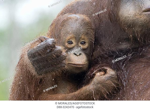 Asia, Indonesia, Borneo, Tanjung Puting National Park, Bornean orangutan (Pongo pygmaeus pygmaeus), Adult female with a baby