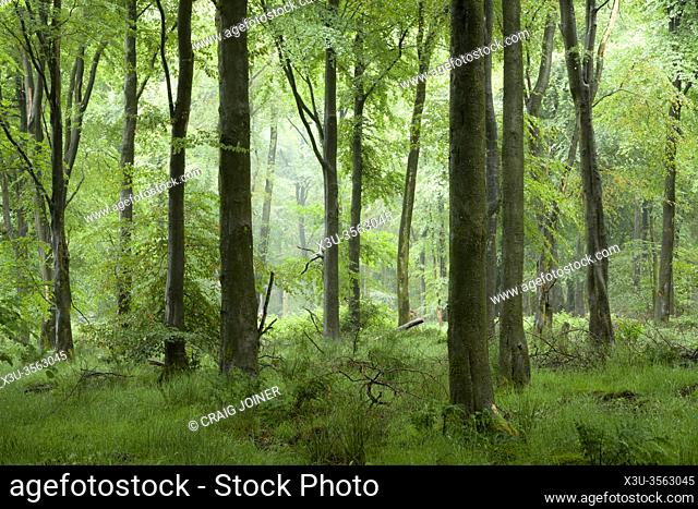 A misty beech woodland in summer at Stockhill Wood in the Mendip Hills, Somerset, England