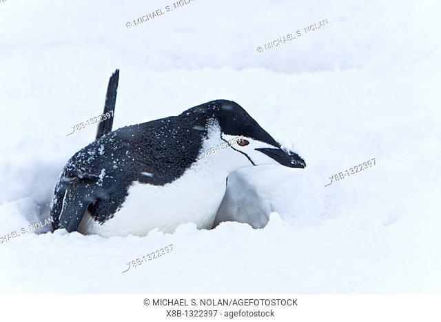Chinstrap penguin Pygoscelis antarctica buried in snow at a breeding colony in a snowstorm on Half Moon Island near Livingston Island in the South Shetland...