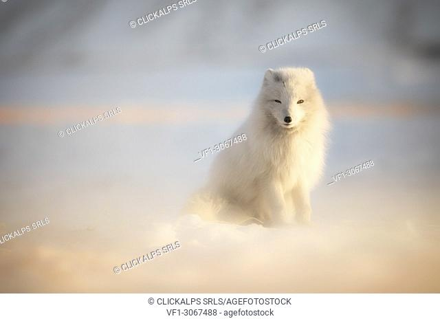 Arctic fox (Alopex lagopus), Billenfjorden, Pyramiden, Spitsbergen, Svalbard, Norway