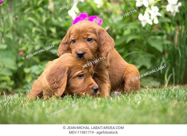 Dog - Two Irish / Red Setter puppies outdoors