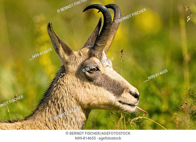 Chamois (Rupicapra rupicapra), portrait of a buck, feeding on plants, Hohneck, Vosges mountains, Alsace, France