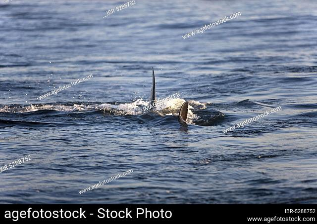 Great white shark (carcharodon carcharias), white shark, man shark, white sharks, white sharks, man sharks, Other Animals, Fish, Shark, Animals