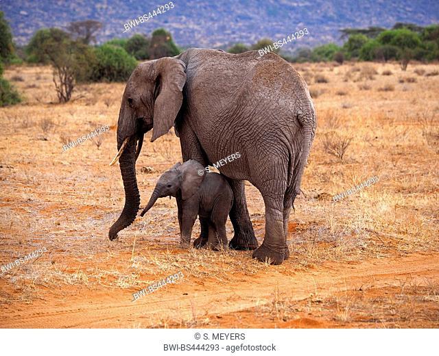 African elephant (Loxodonta africana), cow elephant with elephant calf in the savannah, Kenya, Samburu National Reserve