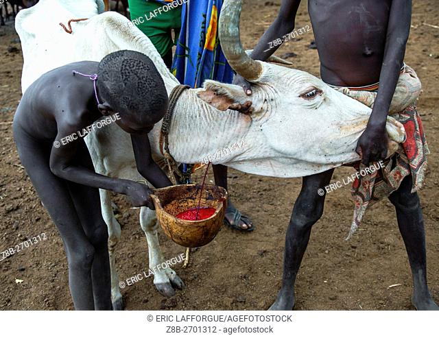 Ethiopia, Omo Valley, Hana Mursi, bodi tribe men collecting blood from a cow