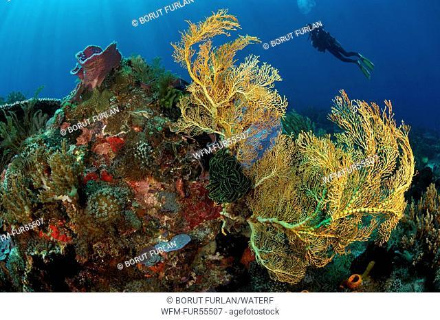 Giant Sea Fan, Melithaea sp., Alor, Indonesia