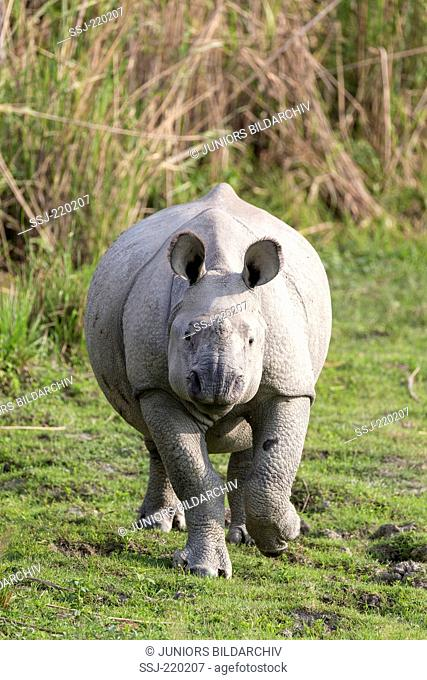 Indian Rhinoceros (Rhinoceros unicornis). Young running towards the camera. Kaziranga National Park, India