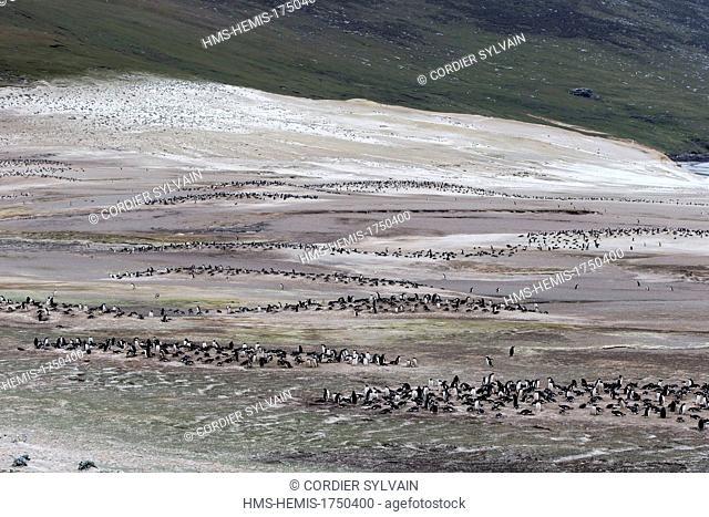 Falkland Islands, Saunders island, The Neck, Gentoo Penguin (Pygoscelis papua papua)