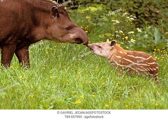 Native to South America, Amazon. Brazilian Tapir (Tapirus terres tris)
