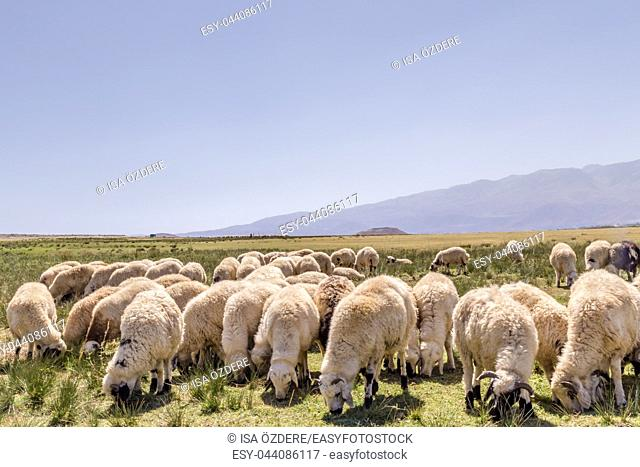 Flock of sheep grazing in a large meadow with high mountains on the background. Wide angle view