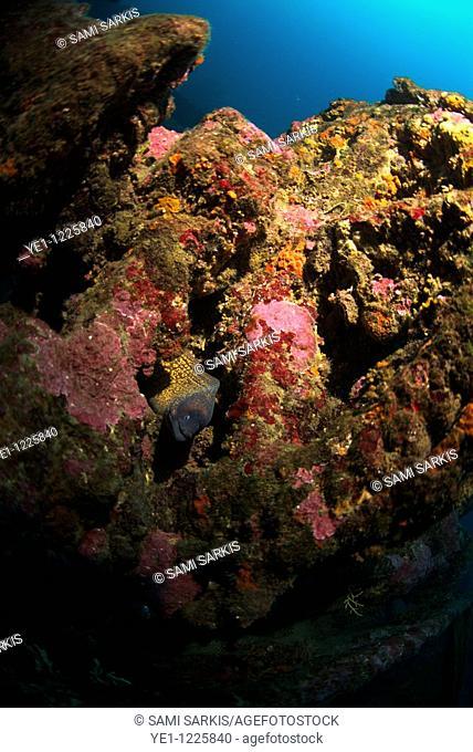 Mediterranean Moray eel (Muraena helena) swims inside a shipwreck underwater, Marseille, France