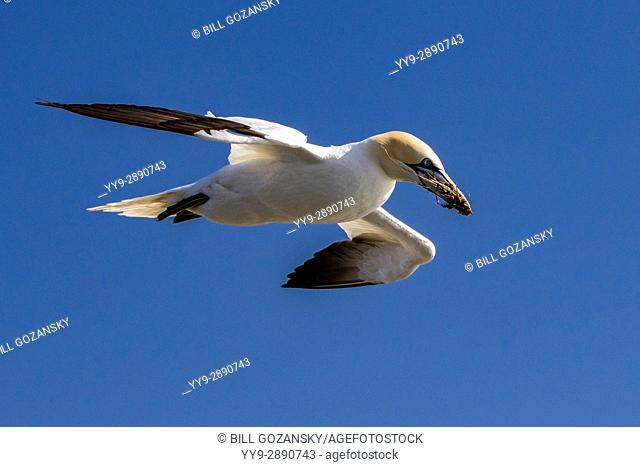 Northern Gannet (Morus bassanus) flying with nesting material at Cape St. Mary's Ecological Reserve, Cape St. Mary's, Avalon Peninsula, Newfoundland, Canada