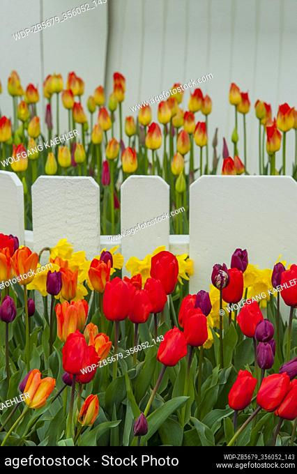 Tulips in front of a wooden fence at the Roozengaarde Display Garden in the Skagit Valley near Mount Vernon, Washington State, USA
