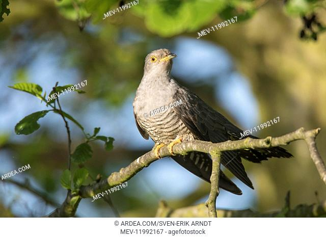 Cuckoo - adult bird perched on branch - Germany