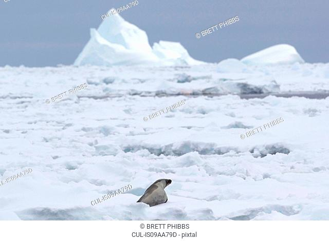 A Crabeater Seal in the ice floe in the southern ocean, 180 miles north of East Antarctica, Antarctica