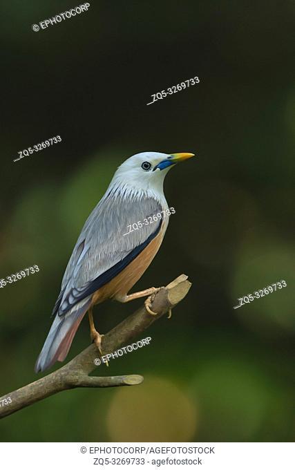 Chestnut tailed starling, Sturnia malabarica, Salim Ali Bird Sanctuary, Thattekad, Kerala, India