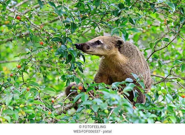 South America, Brasilia, Parana, Iguazu National Park, South American coati, Nasua nasua