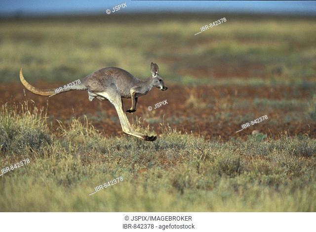 Red Kangaroo (Macropus rufus), adult bounding, Sturt National Park, Australia