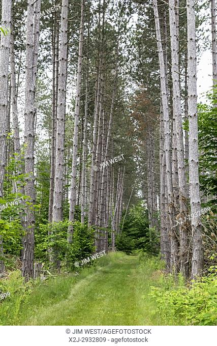 Charlevoix, Michigan - Red pines in the Driggers Nature Preserve, part of the Little Traverse Conservancy. The Conservancy protects undeveloped land in northern...