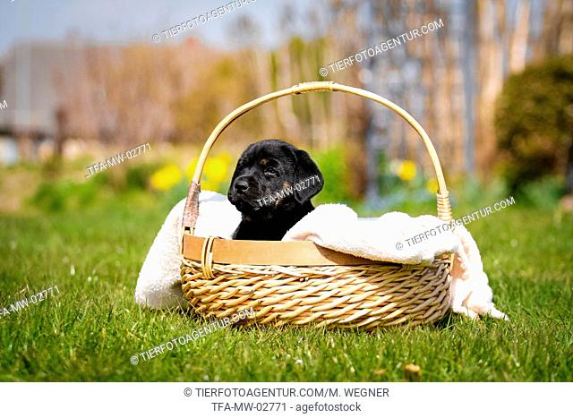 Labrador Puppy in the basket