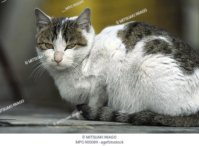 Domestic Cat Felis catus, portrait of resting adult Calico cat
