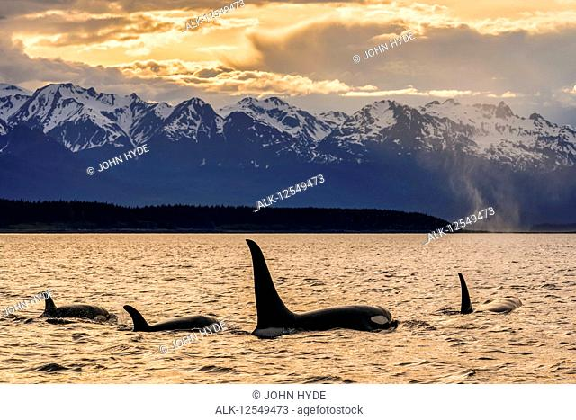 Orca whale (Orcinus orca) pod in Lynn Canal, Inside Passage, with Chilkat Mountains in the background, Southeast Alaska; Alaska, United States of America