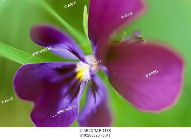 Pansy, blossom,Viola, spec
