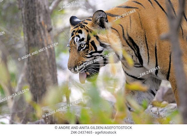 Bengal Tiger (Panthera tigris tigris) standing with tongue out of his mouth, Ranthambhore national park, Rajastan, India
