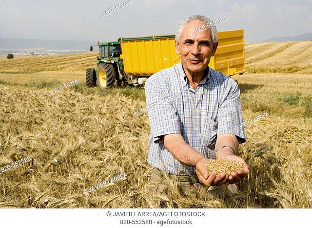 Wheat grains.  Harvesting of cereals,  'Learza' estate. Near Estella, Navarre, Spain