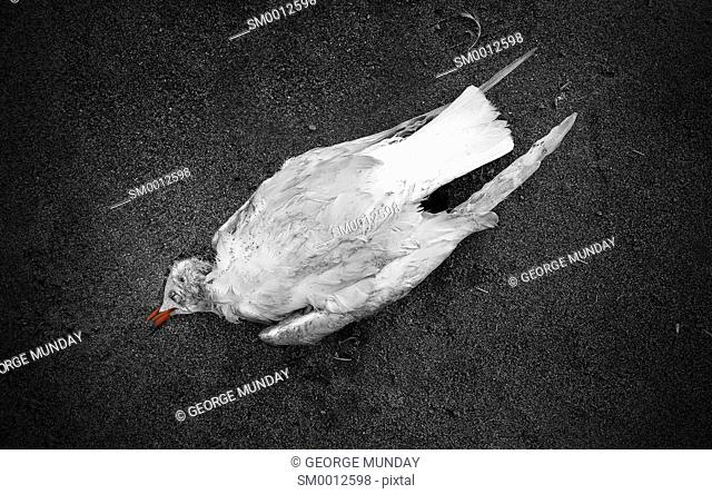 """""""""""Jonathon Livingston Seagull is Dead"""". Dead Black Headed Gull on the beach by the Lighthouse in Torrox, . Costa del Sol, Malaga Province, Andalucia, Spain"