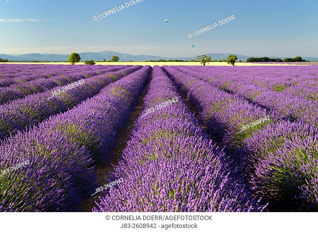 Lavender field and balloons on air (Lavendula augustifolia), Valensole, Plateau de Valensole, Alpes-de-Haute-Provence, Provence-Alpes-Cote d'Azur, Provence