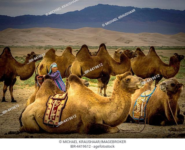 Old nomad with camels (Camelus ferus), Gobi desert, Mongolia