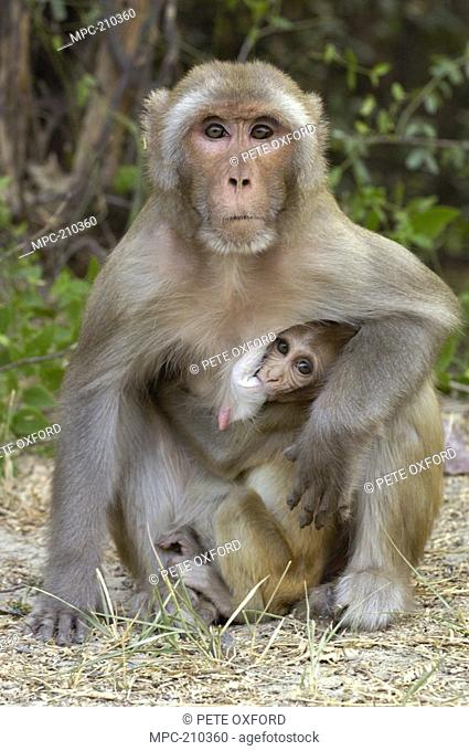 Rhesus Macaque Macaca mulatta, mother with nursing infant in the town of Bharatpur, Rajasthan, India