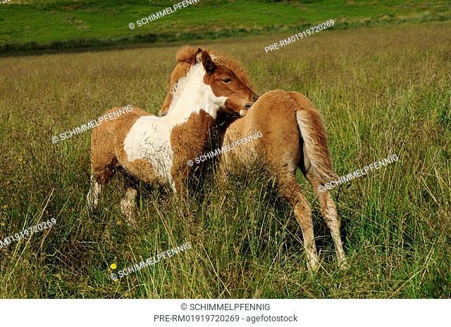 Foals, Icelandic Horse, Iceland